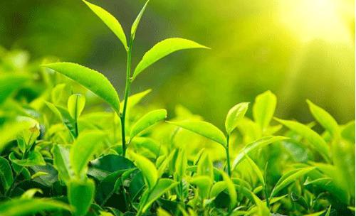 我国4月新增茶企3.7万家 较上月增长34.16%